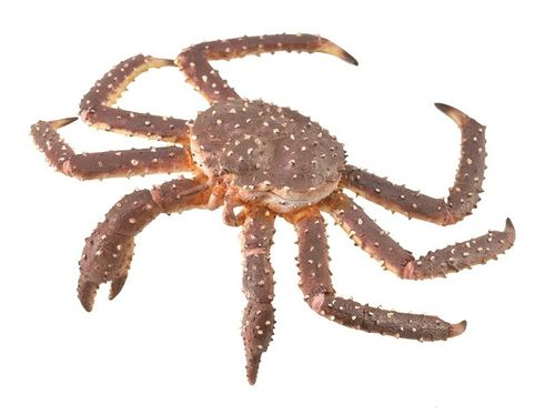 Collecta 88851 king crab 12 cm Water Animals